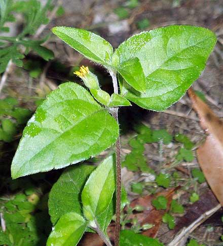 Calyptocarpus vialis (ASTERACEAE) Creeping Cinderella Weed
