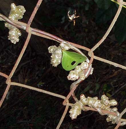 Anredera cordifolia (BASELLACEAE) Madeira Vine