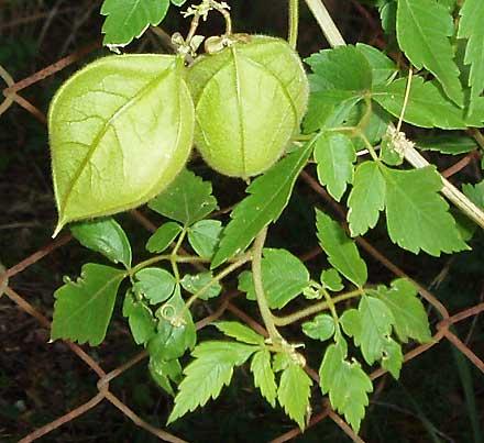 Cardiospermum grandiflorum (SAPINDACEAE) Balloon Vine