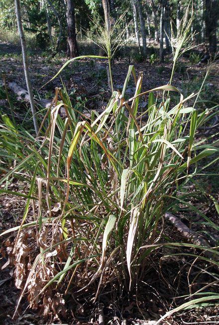 Megathyrsus maximus var. maximus (POACEAE) Green panic, Guinea grass