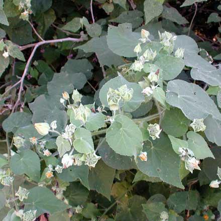 Abutilon grandifolium (MALVACEAE) Hairy Abutilon