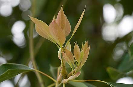 10 October Cinnamomum camphora (LAURACEAE) Camphor Laurel