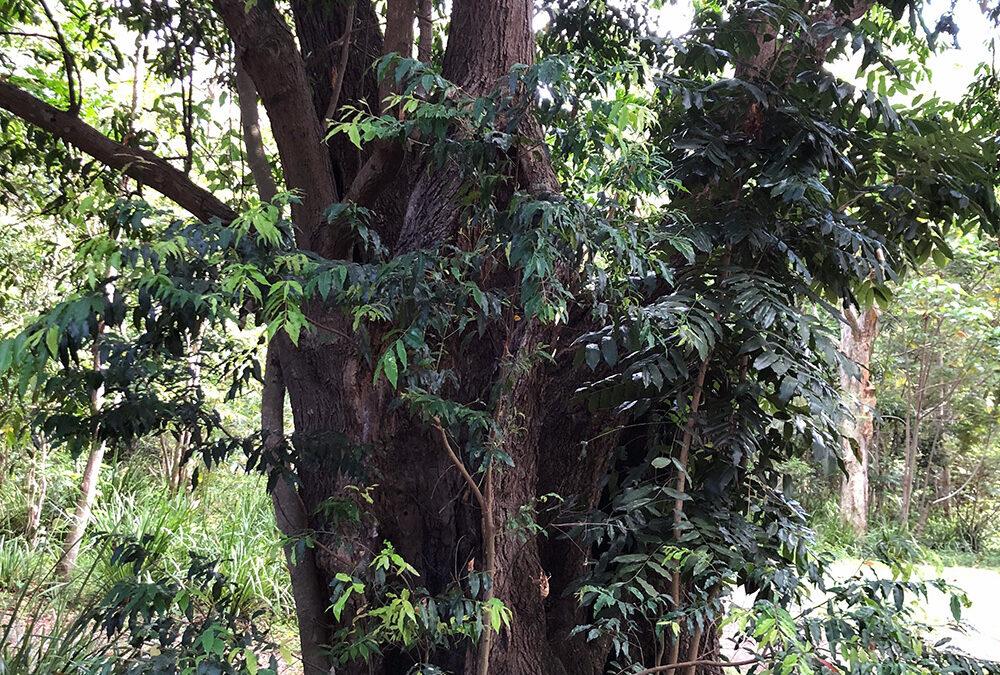 Waterhousea floribunda (MYRTACEA) Weeping Lilly Pilly