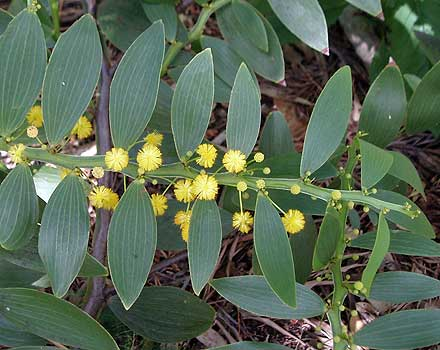 Acacia complanata (MIMOSACEAE) Flat-stemmed Wattle