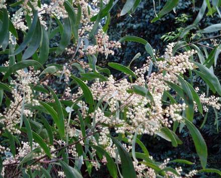 Acacia falcata (MIMOSACEAE) Sickle-leaved Wattle