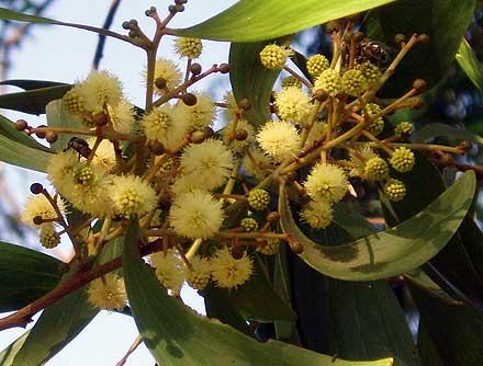 Acacia melanoxylon (MIMOSACEAE) Blackwood