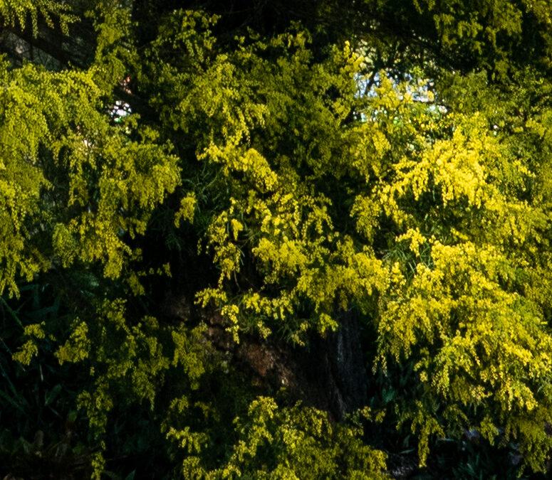 Acacia perangusta (MIMOSACEAE) Eprapah Wattle