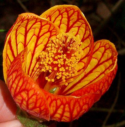 Abutilon pictum (MALVACEAE) Flowering Maple, Chinese Lantern