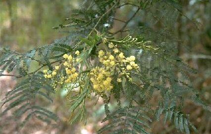 Acacia irrorata (MIMOSACEAE) Green Wattle, Blueskin