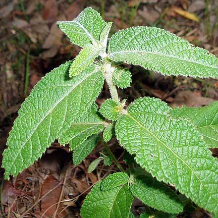 Acalypha nemorum (EUPHORBIACEAE) Hairy Acalypha