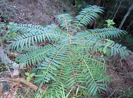 Ailanthus triphysa (SIMAROUBACEAE) White Bean, White Sirus