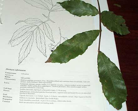 Alectryon subcinereus (SAPINDACEAE) Wild Quince