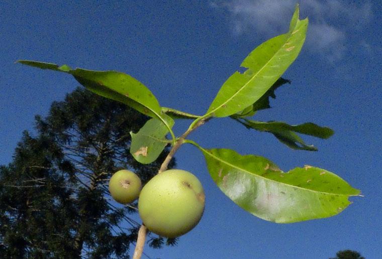 Pouteria australis SAPOTACEAE Black Apple