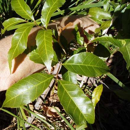Arytera foveolata (SAPINDACEAE) Pitted Coogera
