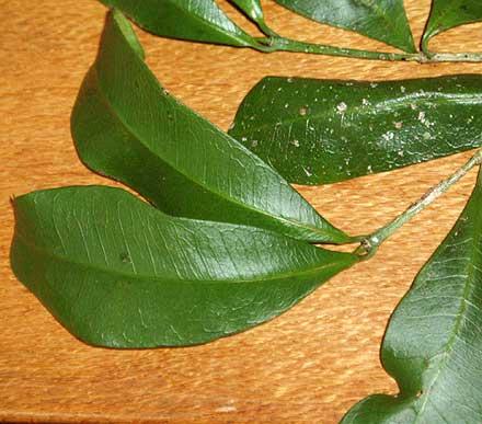 Baloghia inophylla (EUPHORBIACEAE) Scub Bloodwood