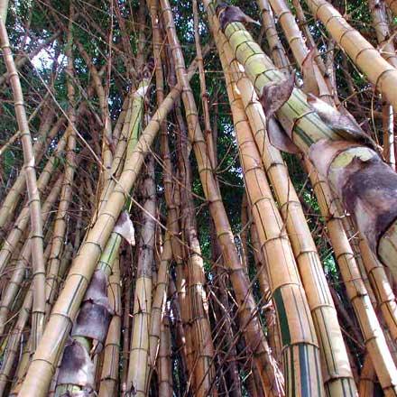 Bambusa vulgaris 'Vittata' (POACEAE) Common Bamboo