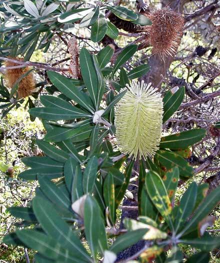 Banksia integrifolia (PROTEACEAE) Coastal Banksia