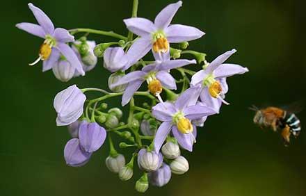 Solanum seaforthianum (SOLANACEAE) Brazilian nightshade