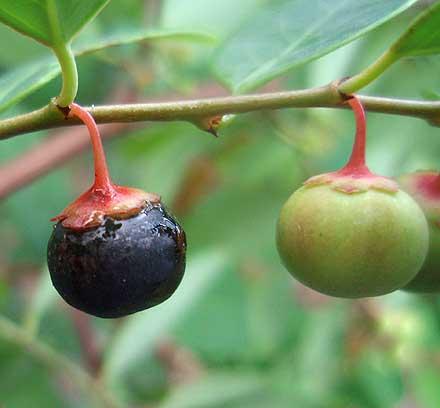 Breynia oblongifolia (EUPHORBIACEAE) Coffee Bush