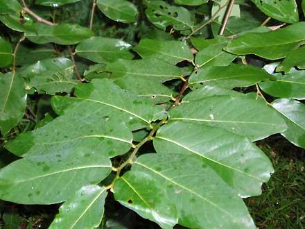 Bridelia exaltata (PHYLLANTHACEAE) Brush Ironbark