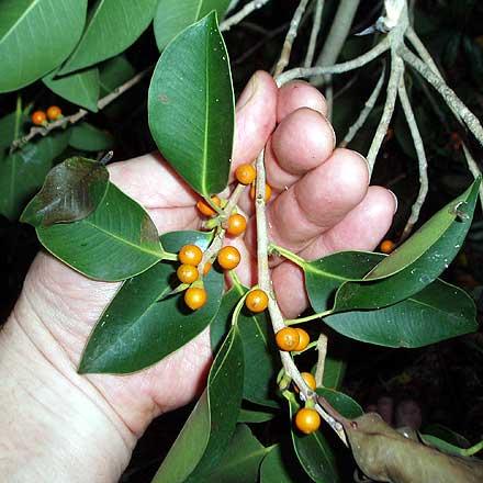 Ficus rubiginosa (MORACEAE) Rock Fig, Port Jackson Fig