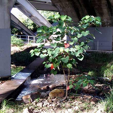 Homalanthus nutans (EUPHORBIACEAE) Native Bleeding Heart