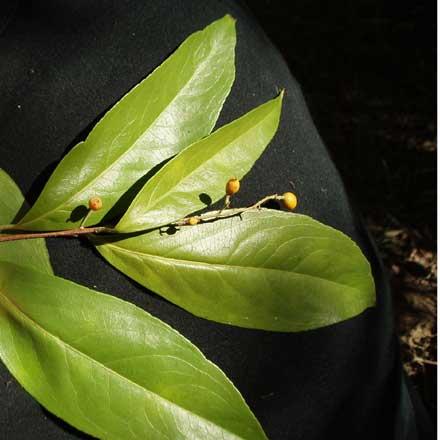 Celastrus subspicatus (CELASTRACEAE) Large-leaved Staff Vine