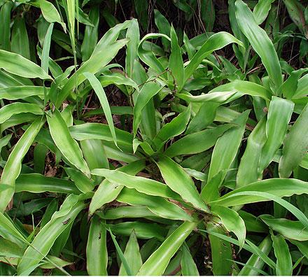 Callisia fragrans (COMMELINACEAE) Basket Plant