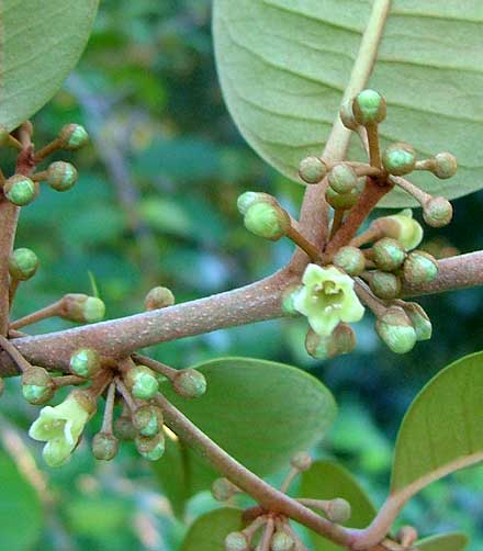 Chrysophyllum oliviforme (SAPOTACEAE) Satinleaf, Wild Star Apple