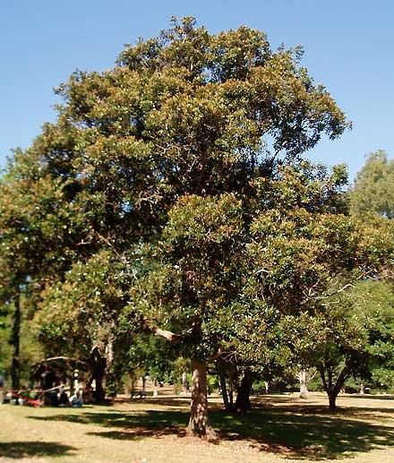 Cryptocarya obovata (LAURACEAE) Pepperberry