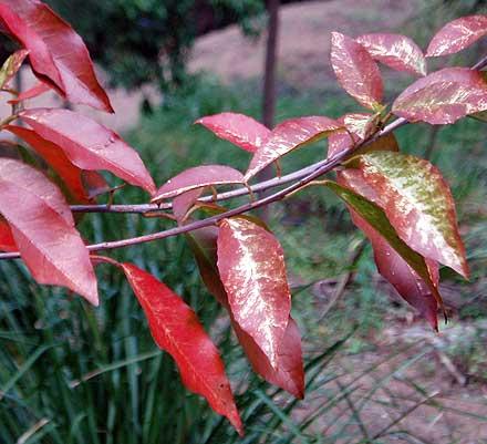 Croton verreauxii (EUPHORBIACEAE) Native Cascarilla
