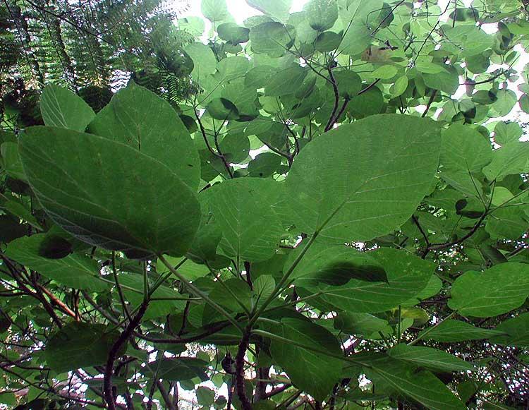 Dendrocnide excelsa (URTICACEAE) Giant Stinging Tree