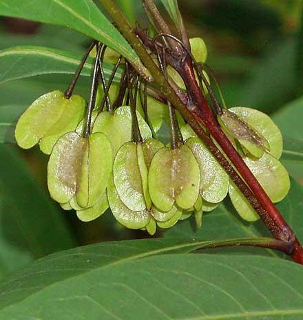 Dodonaea triquetra (SAPINDACEAE) Forest Hop Bush