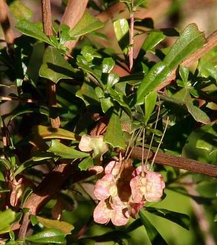 Dodonaea triangularis (SAPINDACEAE) Triangle Leaf Hop Bush