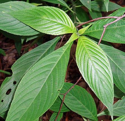Eranthemum pulchellum (ACANTHACEAE) Blue Sage
