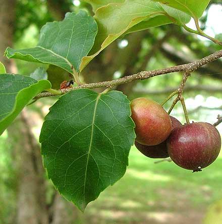 Flacourtia jangomas (FLACOURTIACEAE) Indian cherry