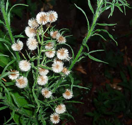 Conyza bonariensis (ASTERACEAE) Flax-Leaved Fleabane