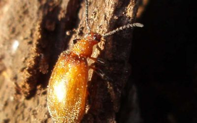 TENEBRIONIDAE Darkling Beetles