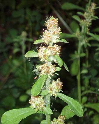 Gamochaeta americanum (ASTERACEAE) Cudweed