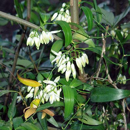 Geitonoplesium cymosum (PHILESIACEAE) Scrambling Lily