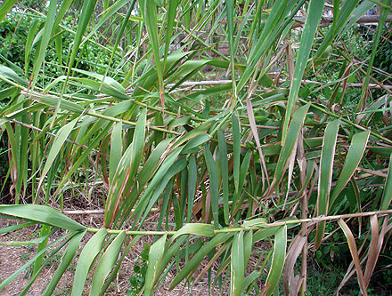 Arundo donax (POACEAE) Giant Reed