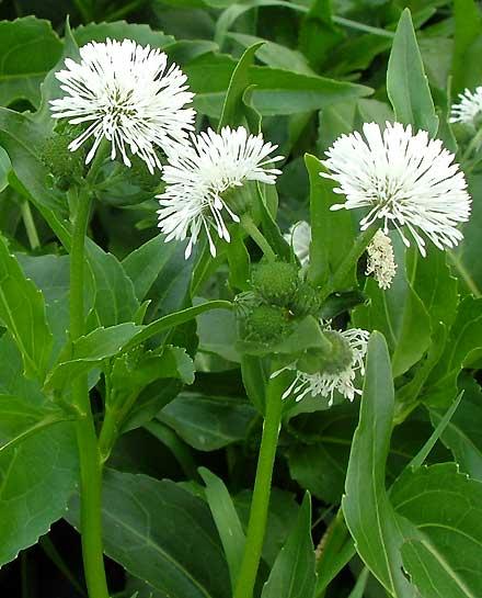Gymnocoronis spilanthoides (ASTERACEAE) Senegal Tea