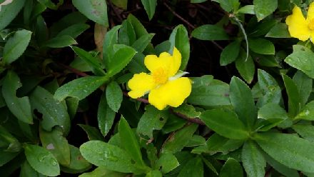 Hibbertia scandens (DILLENIACEAE) Twining Guinea Flower