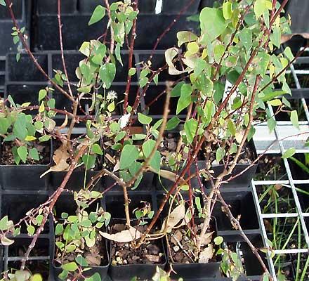 Homalanthus stillingiifolius (EUPHORIBIACEAE)