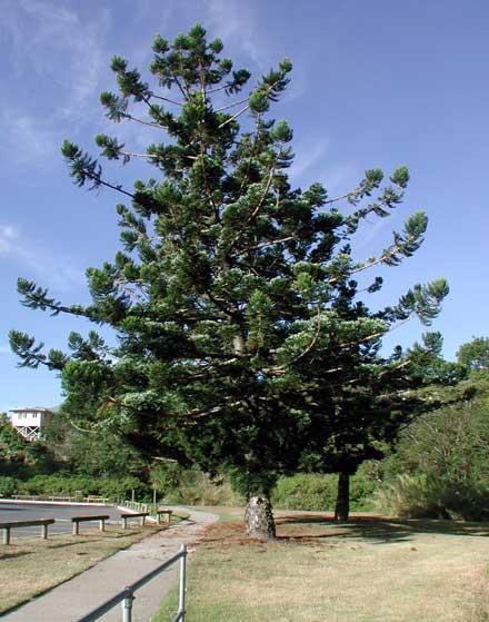 Araucaria cunninghamii (ARAUCARIACEAE) Hoop Pine