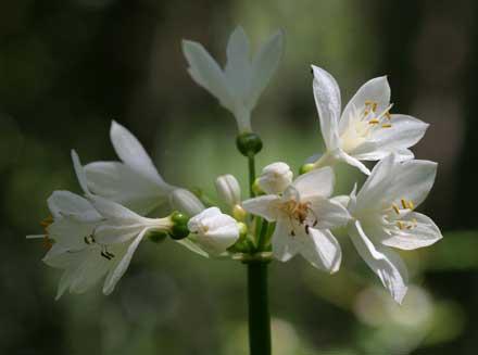 Proiphys cunninghamii (AMARYLLIDACEAE) Brisbane Lily
