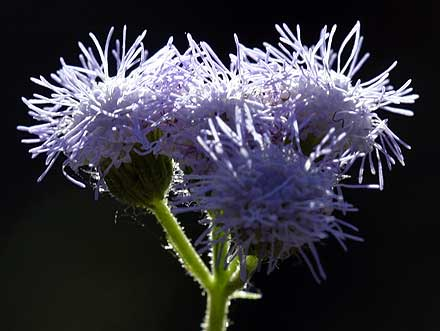 Ageratum houstonianum (ASTERACEAE) Billy Goat Weed