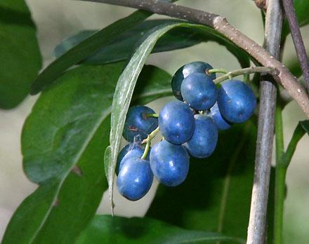 Elaeocarpus obovatus (ELAEOCARPACEAE) Hard Quandong