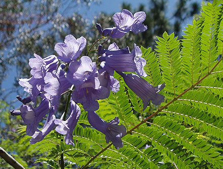 Jacaranda mimosifolia (BIGNONIACEAE) Jacaranda