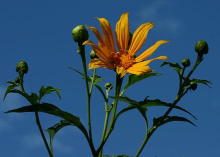Tithonia diversifolia (ASTERACEAE) Japanese sunflower
